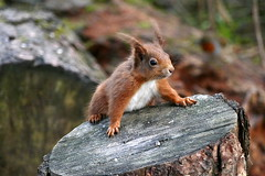 Red Squirrel (eric robb niven) Tags: ericrobbniven scotland redsquirrel wildlife wild nature tayport tentsmuir forest springwatch