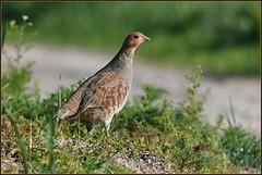 N° 936 / Perdrix grise ( Perdix perdix ) Focus Distance : 19.95 m (Norbert Lefevre) Tags: perdrix plumage gibier chasse nikon d500 300mmf4