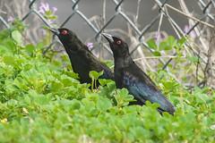 bronzed cowbird (2) (debunkshy1) Tags: bronzedcowbird