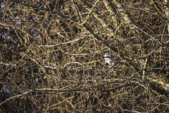 Great Grey Shrike (jones160187) Tags: birds butcher bird nature wildlife great grey shrike cotswolds