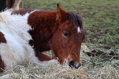 Phoenix I (meniscuslens) Tags: rescue pony horse trust filly foal sleeping resting field paddock aylesbury high wycombe princes risborough charity buckinghamshire