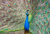 Wide open (Andriy Golovnya (redscorp)) Tags: peacock indian peafowl indianpeafowl blauer pfau blauerpfau bird vogel wildpark poing wildparkpoing sun sunny day beautiful light