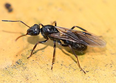 Svart Slavmyra / Wood Ant (Formica fusca) drottning (Martin1446) Tags: nature natur nikon d500 macro ants insect insekt queen myror svart slavmyra wood ant formica fusca drottning