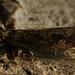 Epinotia brunnichana