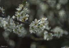 Por fin.. Primavera (pedroramfra91) Tags: naturaleza nature primavera spring exteriores outdoors flores flowers bokeh
