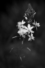 s e r e n a d e (Elton Pelser) Tags: flower nature blackandwhite monochrome bw d3400 nikon photography greyscale floral plant blackwhite mono bandw noir