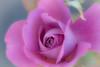 Promise (Jack o' Lantern) Tags: roses rose róża promise