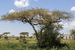 Killer Fruit (Hector16) Tags: migration wildebeestmigration eastafrica tanzania wildlife serengeti ndutu nature cat pantherapardus