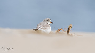 Piping Plover | 2018 - 1