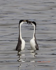 Western grebes turn to face each other in the weed ceremony (Victoria Morrow) Tags: