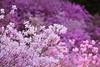 shades of pink (* Yumi *) Tags: ミツバツツジ pink flower azalea ゆうやけこやけふれあいの里