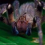 Ctenidae, Phoneutria nigriventer thumbnail