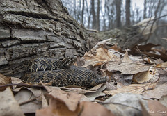 The Sentinel of Spring (Nick Scobel) Tags: eastern massasauga rattlesnake sistrurus catenatus viper venomous fangs pit pattern scales rattle warning wide angle forest habitat scenic spring