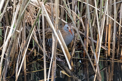 The Elusive Water Rail / Wasserralle (CJH Natural) Tags: lenstagger waterrail wasserralle shy elusive reeds reedbed nature wildlifephotography naturephotography light licht wild natur wildlife bird vogel avian birding birder birdwatching twitching twitcher rspb beauty beautiful lovely fantastic wonderful pose nikon nikond500 nikkor200500mm 200500 edvr 200500edvr