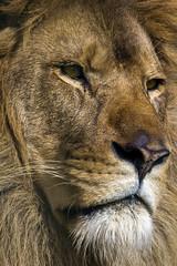 African Lion. (Nigel Paine) Tags: whf bcs lion africanlion bigcat thebigcatsanctuary bigcatsanctuary wildlifeheritagefoundation canon60d ef300f28lisusm 2xextender 600mm