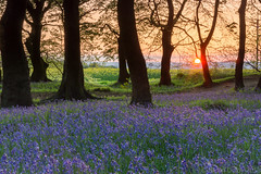 Bluebell Sunset (Snap Tin) Tags: 2018 bluebells silverwood may sony southyorkshire alpha a77 spring landscape carpet blue sunset sun ravenfield england unitedkingdom gb trees lowlight outdoor woodland woods wildflower wild