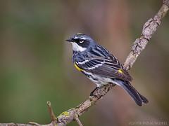 Butterbutt (Doug Scobel) Tags: yellowrumped warbler setophaga coronata magee marsh bird wildlife nature woodwarbler birdperfect