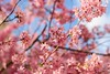 Blossoms (laurakirkpatrick) Tags: flower pink cherryblossoms blossoms bloosom spring plumblossoms plumblossom cherryblossom blue prague praha czechrepublic europe nature plants outside tree fleur ngc
