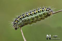 Oruga de Zygaena Trifolii (Nikologia) Tags: zygaena zygaenidae oruga lepidoptero nocturna macro mariposa