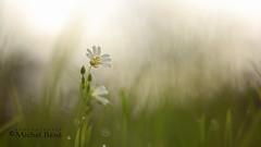 belle inconnue (gimi.bene) Tags: fleur flower flou bokeh macro grosplan planrapproché profondeurdechamp proxy canoneos