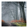 _57A2851 (ciollileach) Tags: woodland landscapephotography landscape sherwoodforest trees arboreal pines mist atmosphere beech copperbeech silverbirch