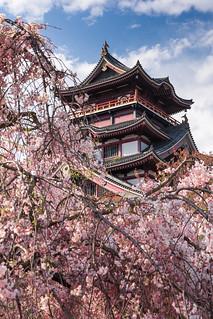Sakura@Fushimi Momoyama Castle,Kyoto,Japan