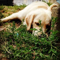 Puppy in grass (Kol Tregaskes) Tags: koltphotography photo photography photooftheday pic picoftheday picture pictureoftheday