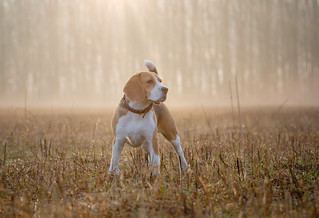 Beagle dog on a walk in the fog