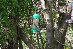Blue tit 140418 - DSC_0281 (Leslie Platt) Tags: exposureadjusted straightened cheshirewestchester redhillcottages gardenbirds bluetit