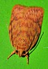 Long horn streaky pumpkin moth Lophopepla sp Oecophorinae Oecophoridae Airlie Beach rainforest P1230934 (Steve & Alison1) Tags: long horn streaky pumpkin moth lophopepla sp oecophorinae oecophoridae airlie beach rainforest