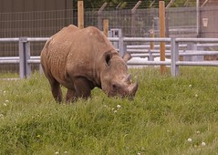 Day out at Y.W.Park with my family! 26.05.2018 007 (Andrew Burling (SnapAndy1512)) Tags: dayoutatywparkwithmyfamily26052018 yorkshirewildlifepark blackrhino rhino animals zoo