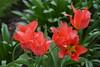 Red Tulips, Jubilee Gardens, Chichester (3) (f1jherbert) Tags: sonya68 sonyalpha68 alpha68 sony alpha 68 a68 sonyilca68 sony68 sonyilca ilca68 ilca sonyslt68 sonyslt slt68 slt jubileegardenschichesterwestsussex jubileegardens westsussex jubilee gardens chichester west sussex