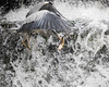 Grey Heron picking a fish out of the water (cillinc) Tags: heron fishing fish birds weir waterfall water grey greyheron dodder