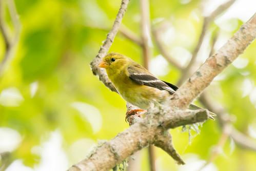 DSC_7527.jpg American Goldfinch, Pajaro River