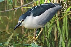 Garça-noturna ou Goraz / Black-crowned Night-heron (Nycticorax nycticorax) (Marina CRibeiro) Tags: