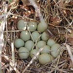 Ring-necked Pheasant Nest thumbnail