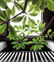 Look up (Cassan Weish) Tags: leaves leaf flower flowers tree terrace malacca melaka layanglayang guesthouse nice random visual nrv