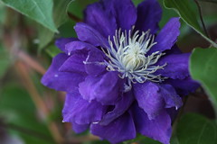 Purple flower (eyawlk60) Tags: purple clematis beautiful クレマチス 花 紫 四季 初夏 春 eos 5d canon