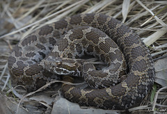 Eastern Massasaauga Rattlesnake (Nick Scobel) Tags: eastern massasauga rattlesnake sistrurus catenatus rattler venomous snake michigan crotalidae rattle venom fangs pit viper spring pattern texture scales golden colorful