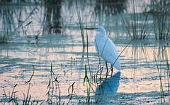 Egret in the Marsh (imageClear) Tags: hunting bird egret heron greategret white marsh water horiconmarsh dawn sunrise earlymorning nature wildlife lovely reeds grass aperture nikon d500 200500mm imageclear flickr photostream