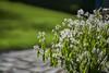 Euphorbia Diamond Frost (ivoräber) Tags: heliar classic voigtlander voigtländer leica nex sony euphorbia diamond frost zauberschnee garden garten flower