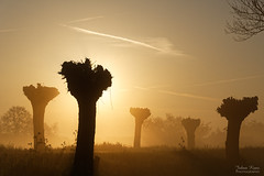 Sunrise of the Willow Trees (Johan Konz) Tags: sunrise pruned pollardwillow tree backlight mist rural silhouette bokeh monochrome landscape outdoor sky atmosphere mood grass plant nikon d7500 purmerland waterland netherlands