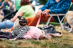 PugCrwal-37 (sweetrevenge12) Tags: portland oregon unitedstates us pug parade crawl brewing sony pugs dog pet