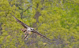 Osprey: Pandion haliaetus  (Explored)
