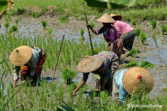 Working in the rice fields around Modung, Pulau Madura (Sekitar) Tags: pulau madura suramadu insel island indonesia provinsi jawa timur ostjava java eastern working paddies sawah wanita woman farmer rice fields modung