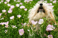 Stock Images (perfectionistreviews) Tags: portrait color outdoors horizontal canine mixedbreed mutt fluffydog animal pet dog smalldog flower field longhair flowers barking speaking panting windblown nobody shaggy pant photograph animalsandwildlife