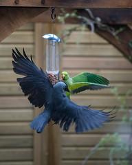 LEC_0157.jpg (Lorraine Clifton) Tags: jackdaw parakeet