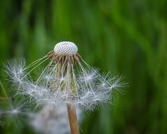 weeds -2 (Queen Bee Deb) Tags: weed garden newhamburg ontario canada ca dandelions dandelion seeds downy yellow