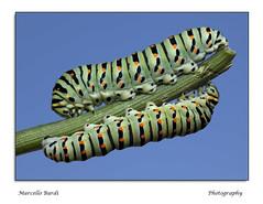 Twins (guitarmargy) Tags: caterpillars twins bruchi papiliomachaon macro closeup entomologo marcellobardi insetti animali wildlife coppia lepidotteri artropodi nature insect fauna bugshot