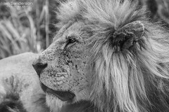 The King (Ian C Sanderson) Tags: lion lins lioness animal mammal africa d7200 tamron 300mm